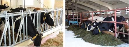 Годівля корів з кормового столу