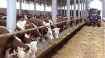 Безприв'язний спосіб утримання м'ясної худоби