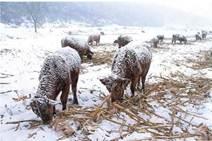 Зимове випасання тварин