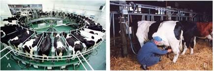 Роздоювання новоотелених корів