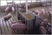 Утримання свиней на гратчастій підлозі