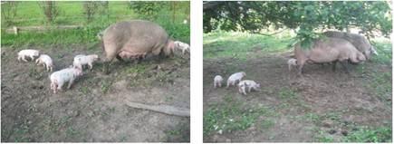 Утримання підсисних маток на малих фермах