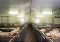 Розміщення станків у свинарнику в два ряди