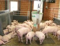 Годівля свиней досхочу