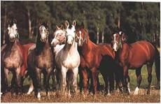 Табун – однорідна група коней за статтю і віком