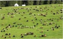 Пасовища для овець у високогірних районах