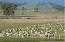 Загінне випасання овець
