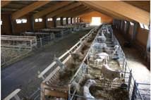 Стійлова система утримання овець