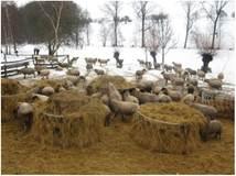 Годівля овець на вигульно-кормових майданчиках