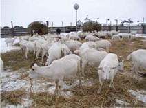 Утримання кіз на вигульно-кормовому майданчику