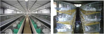Утримання кролів у багатоярусних клітках у приміщенні