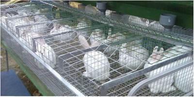Утримання молодняку кролів