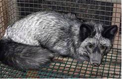 Шедове утримання лисиць