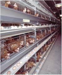 Утримання птиці промислового стада у кліткових батареях