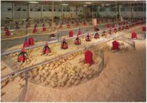 Вирощування курчат-бройлерів на глибокій підстилці