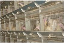 Утримання батьківського стада у кліткових батареях