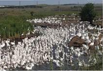 Вирощування гусей із використанням водних вигулів