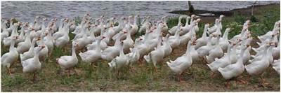 Вирощування ремонтного молодняку гусей на водоймі