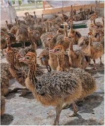 Вирощування страусенят у загонах
