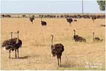 Випасання страусів