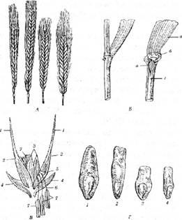 Основні морфологічні ознаки жита: А – типи жита: Б – будова листка (а – листкова пластинка, б – язичок, в – вушка, г – листкова піхва); В – будова колоска (1 – ость, 2 – зовнішні і З – внутрішні квіткові плівки, 4 – колоскові луски, 5 – пірчаста приймочка, б – ниточки пиляків, 7 – пиляки); Г- форми зерна (1, 3 – овальна, 2, 4- видовжена)