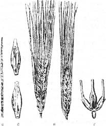 Озимий ячмінь: а – колосовий стрижень; б – колоски; в – колос (загальний вигляд); г – колоски в