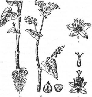 Гречка: а – нижня частина стебла з корінням і листям: б – гілка з квітками і листям; в – квітка з короткими стовпчиками і довгими тичинками; г – квітка з довгими стовпчиками і короткими тичинками