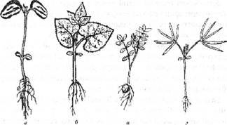 Сходи зернобобових: а, б – з трійчастими листками (соя, квасоля звичайна); в-з пірчастими листками (нут); г-з пальчастими листками (люпин)