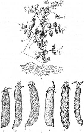Горох: а – загальний вигляд: 1 – стебло; 2 – міжвузля стебла; 3 – прилистник; 4 – пластинка пірчастого листка; 5 – вусики (редуковані листкові пластинки); б – квітка; 7 – біб; б – форми бобу: лущильного: 1 – пряма; 2 – зігнута; З – шаблеподібна; зеленого: 3, 4 – лущильного; 5 – мечеподібного цукрового; 6 – чоткоподібного цукрового
