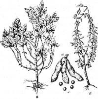 Соя: а – вегетуюча рослина: б – рослина з дозріваючими плодами; в – боби; г – насіння