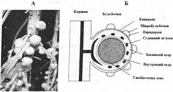 Зображення бульбочкових бактерій (А) та структурна схема симбіотичних зв'язків бульбочкових бактерій з рослинами сої (Б)