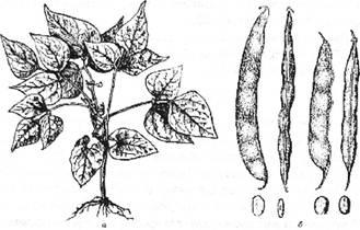 Квасоля звичайна: а – загальний вигляд: б – боби й насіння