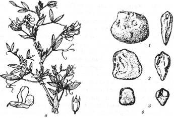 Чина: а – загальний вигляд: б – насіння: 1 – плоске, 2 – плоско-клиноподібне, 3 – клиноподібне