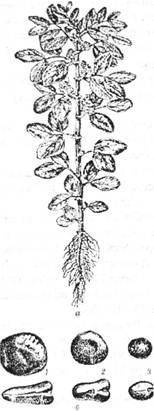 Кормові боби: а – загальний вигляд; б – насіння: 1 – плоске; 2 – плоско-циліндричне; З – циліндричне