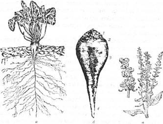Цукровий буряк: а -розміщення кореневої системи в грунті; б – коренеплід (1 – голівка, 2 – шийка, 3 – корінь, 4 – хвостик кореня); в – квітконосні пагони